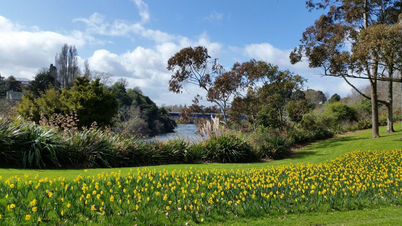 Daffodils along the Waikato River
